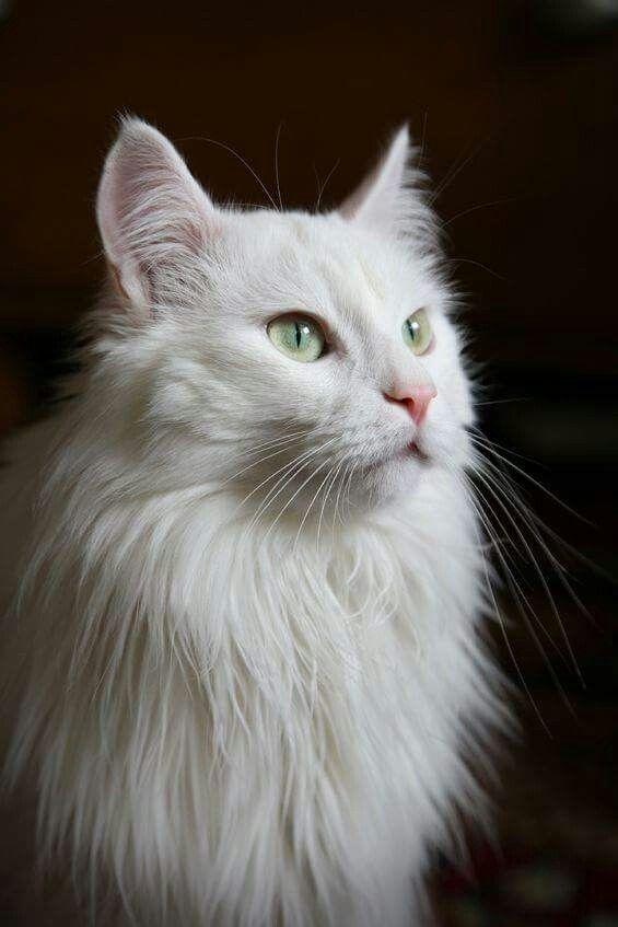 Long hair angora cat