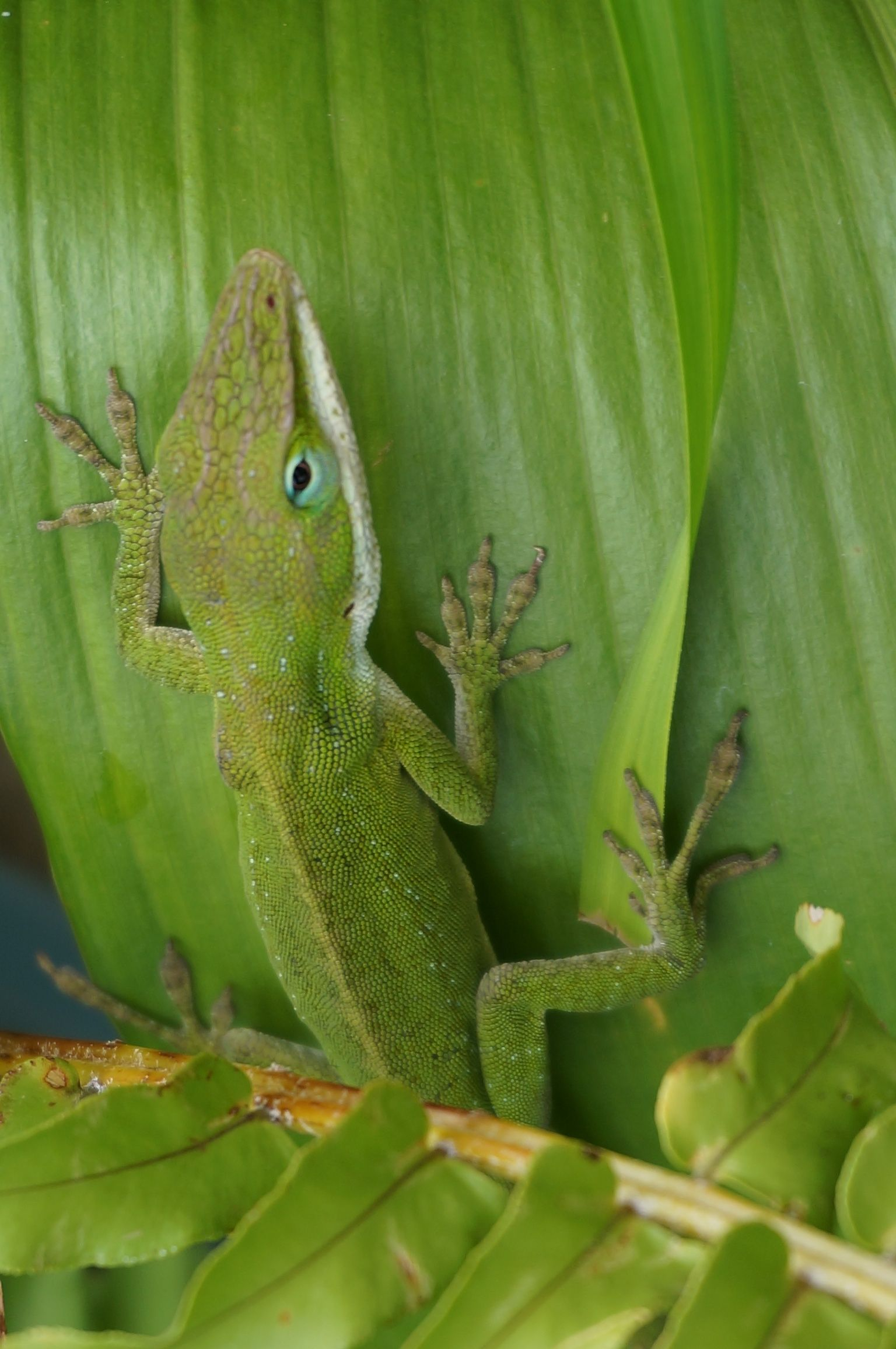 Lizard in Mom's yard, Kauai Hawai'i | Kauai hawaii, Kauai ...