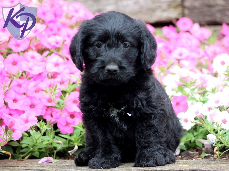 Judge miniature labradoodle puppy miniaturelabradoodle