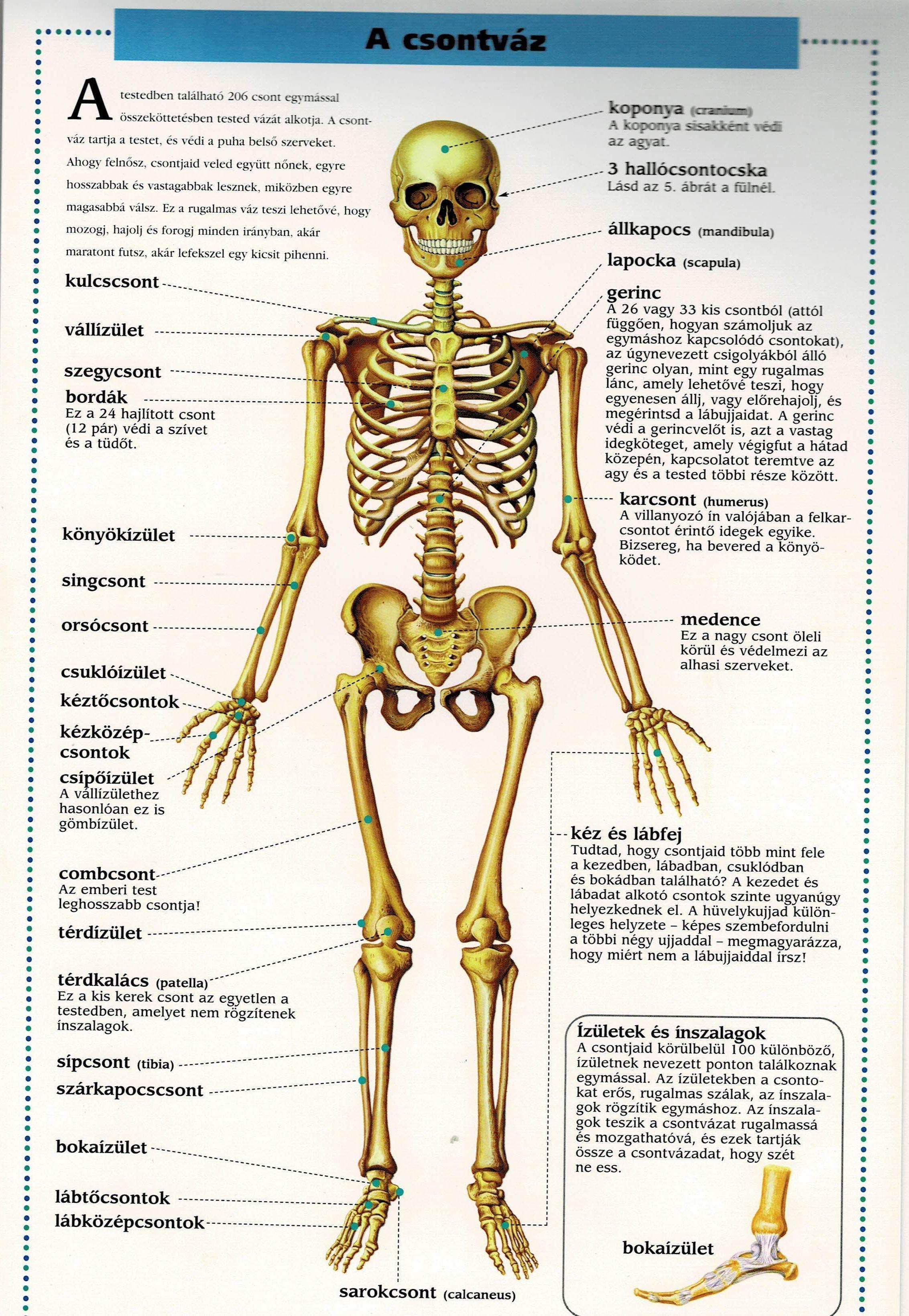 a térdízület csontok hogyan lehet gyorsan enyhíteni a lábak ízületeit