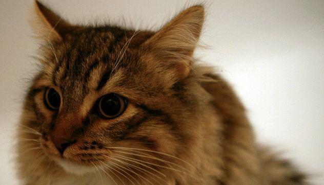 Hypoallergenic Cat Breeds Hypoallergenic cats, Cat