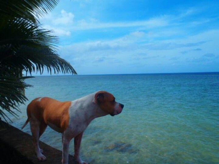 Buddy on the seawall at Nan\u0027s backyard Agat, Guam Pugs \u0027n Hugs