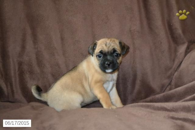 Penny Jug Puppy For Sale In Shiloh Oh Jug Puppies For Sale Puppies For Sale Puppies