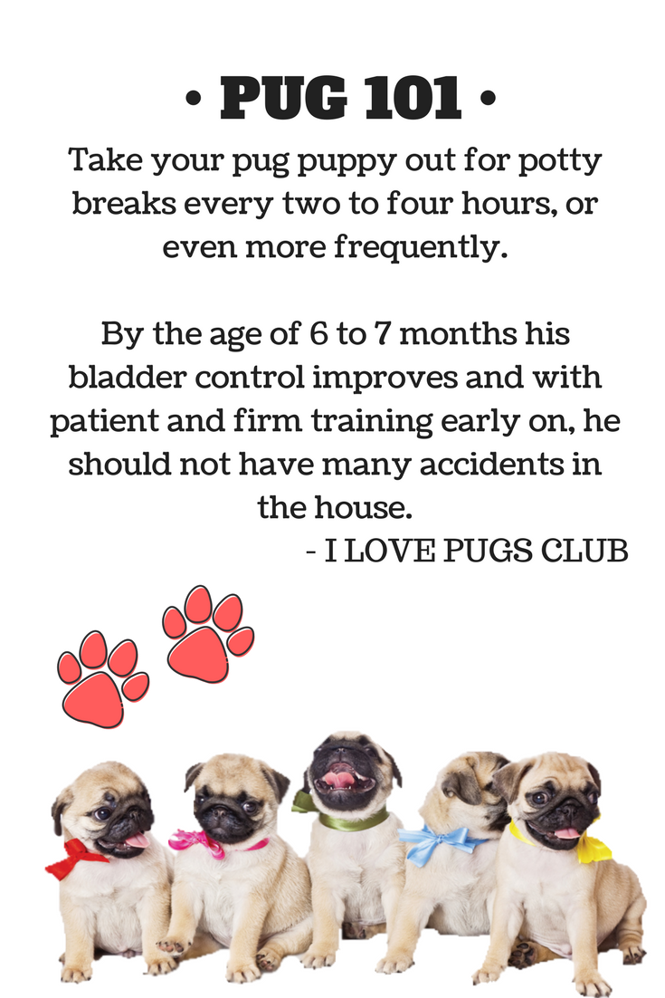 Pin by i love pugs club vip on pug caring tips pinterest find this pin and more on pug caring tips by pugvip nvjuhfo Images