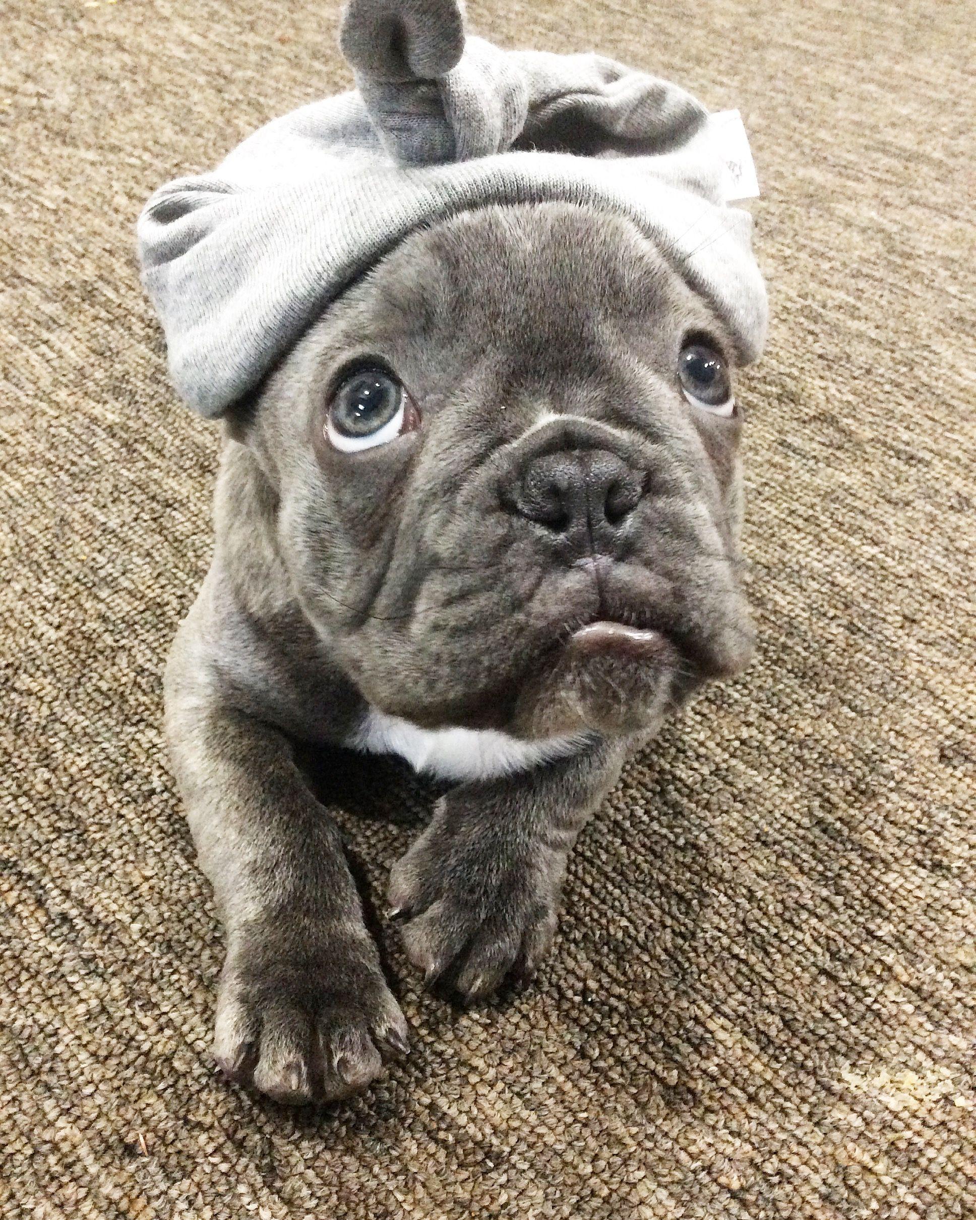 Blue French Bulldog Puppy in a Turban❤