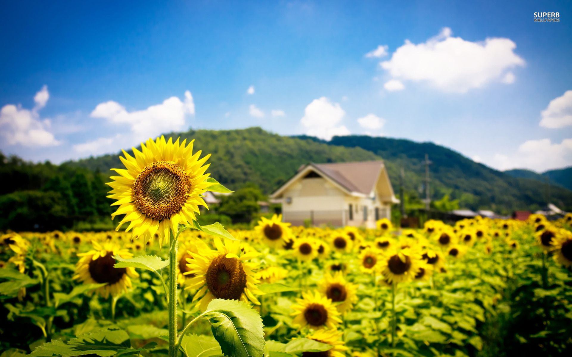 Field Of Sunflowers Wallpaper: Sunflower Field Photography Hd Images 3 HD Wallpapers