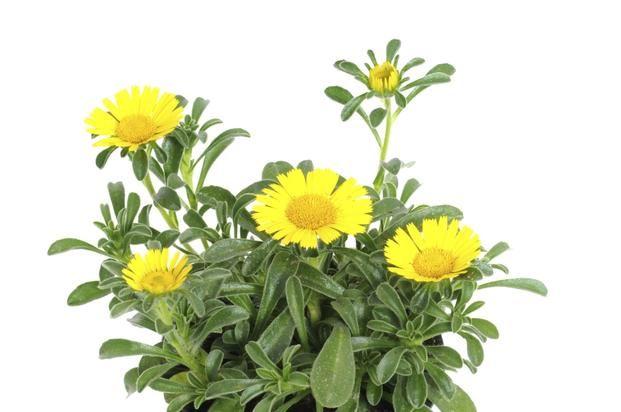 Rosliny Balkonowe Odporne Na Wiatr Asteriscus Nadmorski Jest Odporne Na Silne Podmuchy Wiatru Plants Flowers