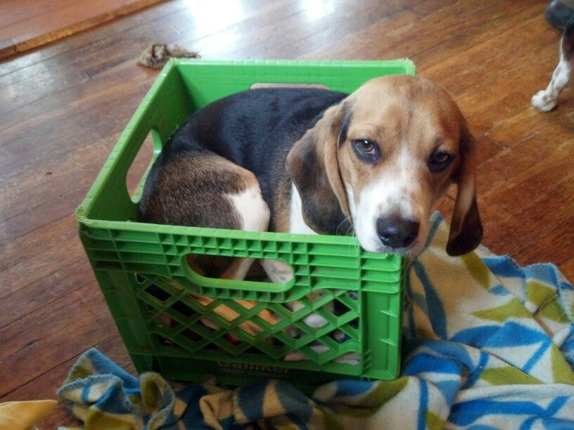 How Beagles Think When You Say Crate Training Beagle Puppy
