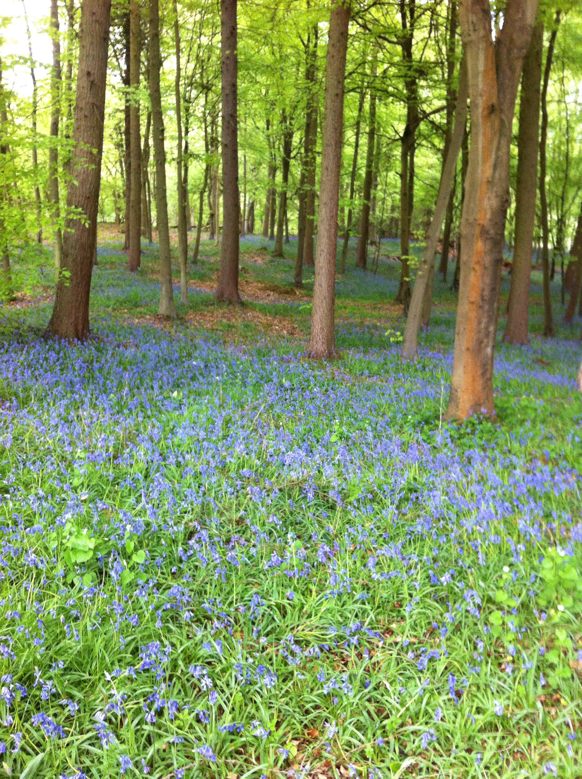 Carpet of bluebells at Polesden Lacey, Surrey