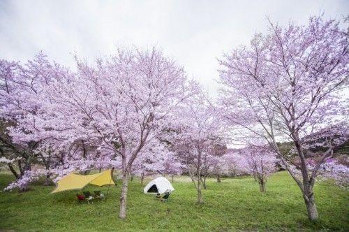 Des cerisiers en fleurs pendant le hanami au Japon
