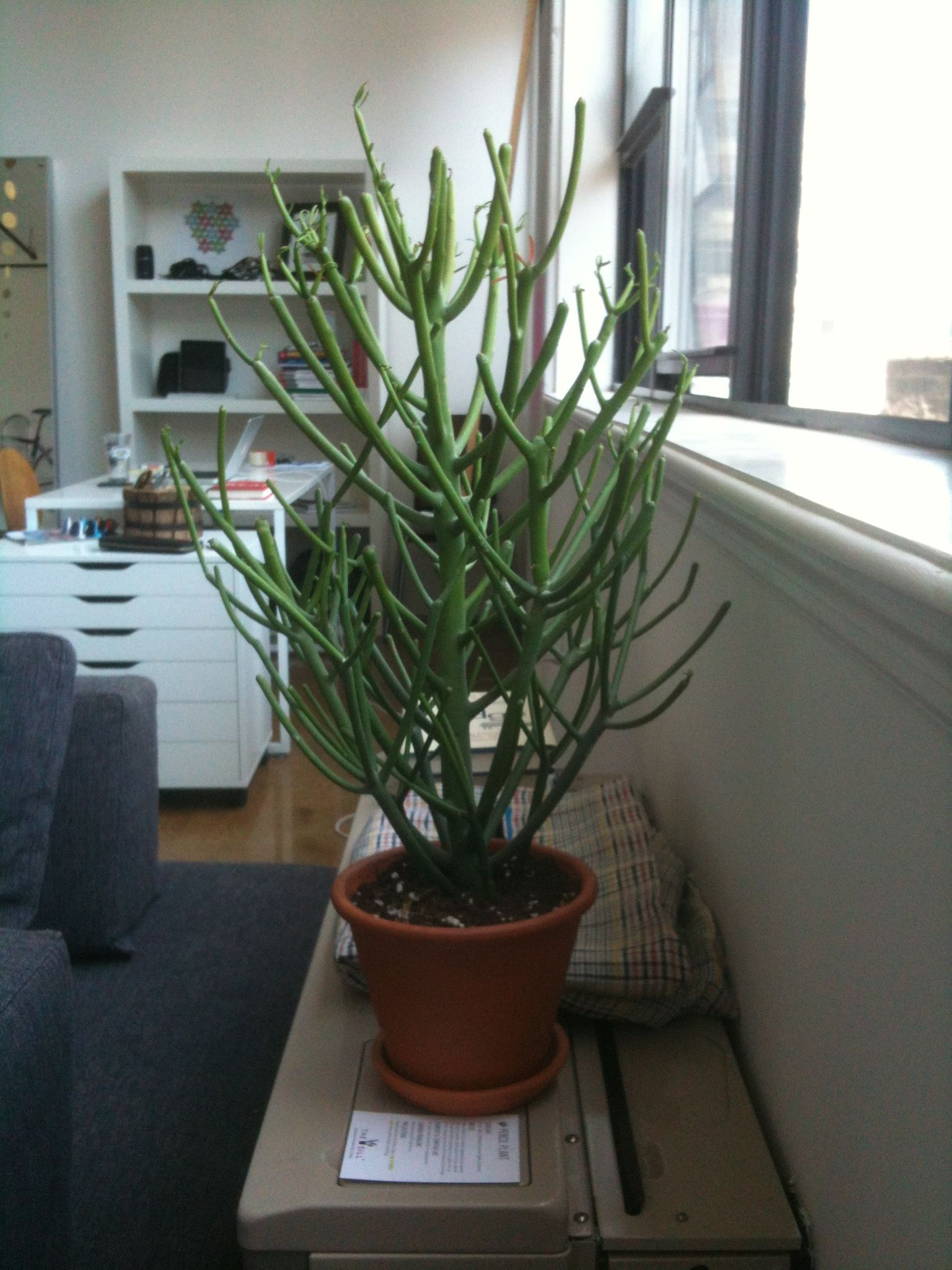 Pencil Plant, Houseplant, Greenery