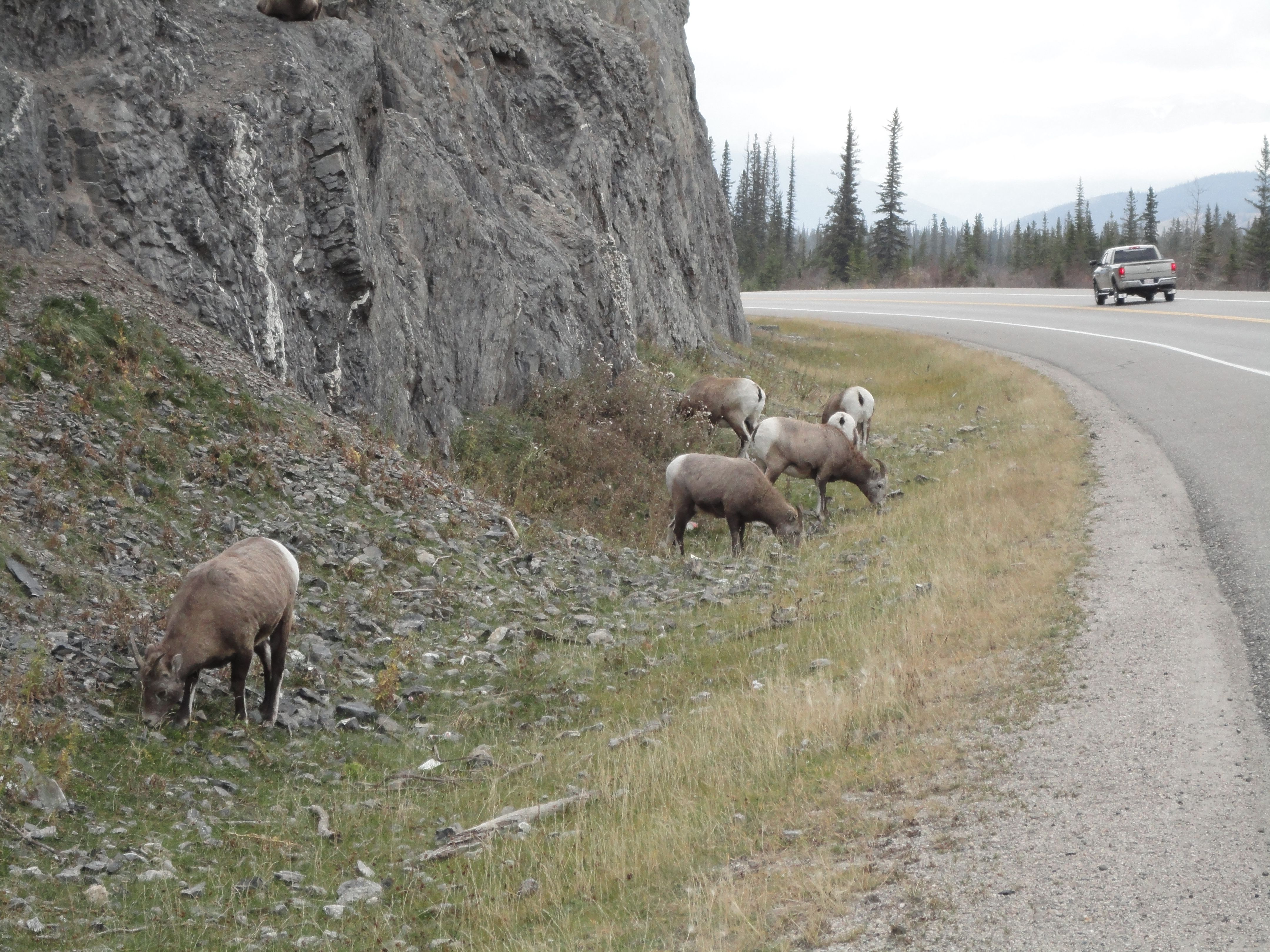 Wildlife Experience in Roger's Pass #WHITESWAN