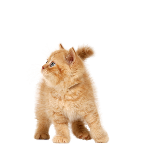 Pet Cat Kitty Cat Child Cat Png Image Cats Cat With Blue Eyes Cat Crying
