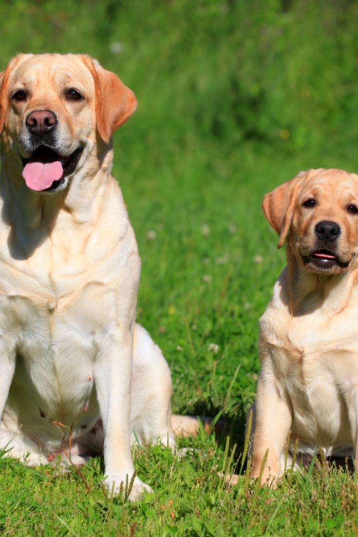 Labrador Retriever Mother And Her Puppy Labradorretriever In 2020 Golden Retriever Labrador Labrador Retriever Labrador