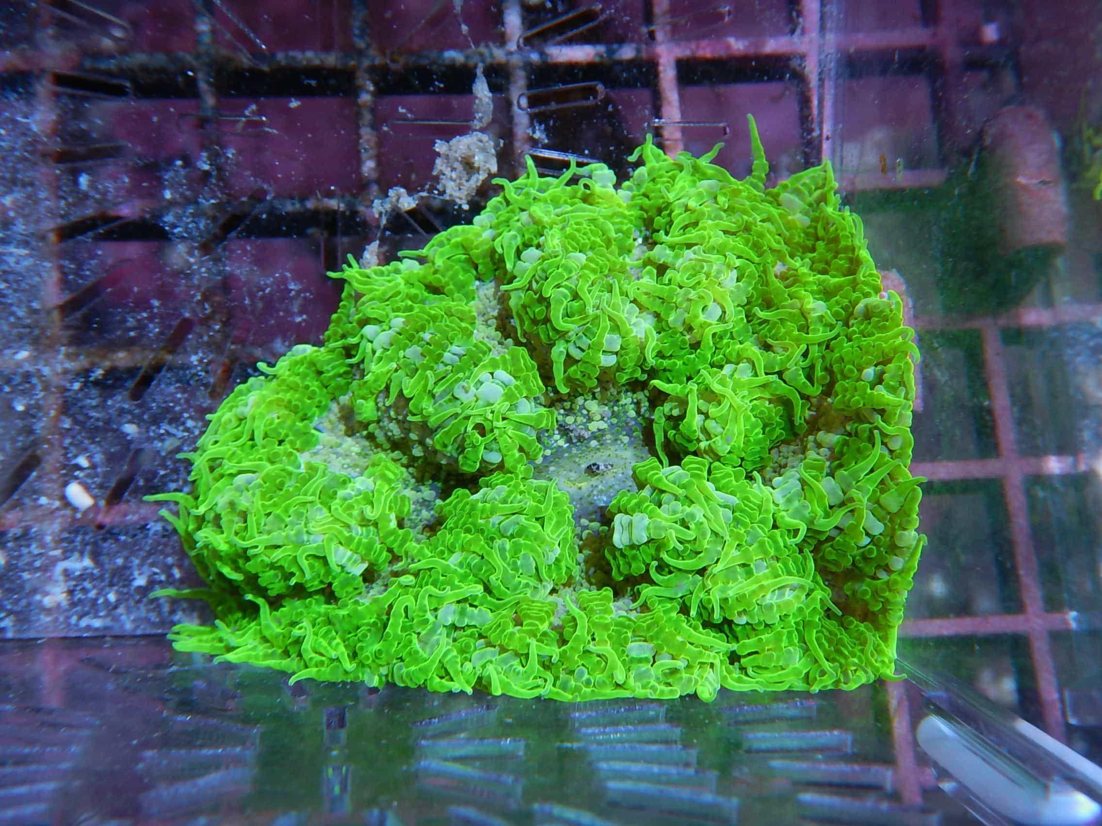 3199 rock flower anemone super green epicystis