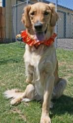 Adopt Rocky Adopted On Dogs Golden Retriever Golden Retriever