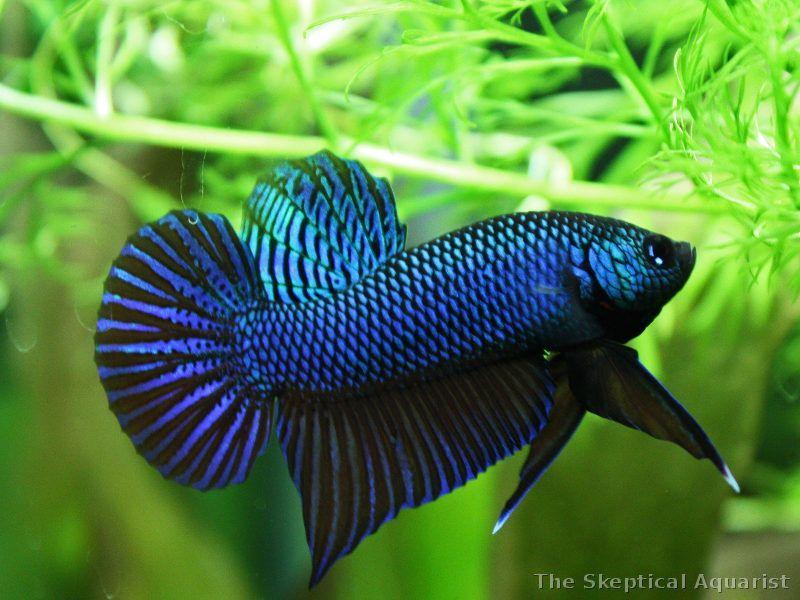 Male betta smaragdina 39 s classic flaring lateral display for Wild betta fish