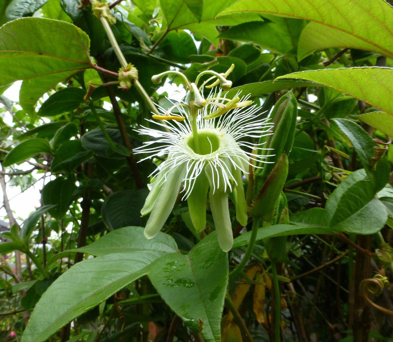 Growing And Using Passionflowers Aka Maypop Schneiderpeeps Passion Flower Growing Flowers Flowering Vines
