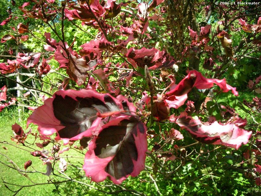 Tri Color Beech Tree Problems | Arboreality - Tree Blogging: Tri-Color Beech Tree