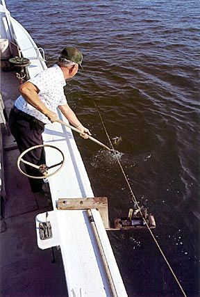 Using A Trotline To Catch Blue Crabs Maryland Blue Crab Crab Fishing Blue Crab