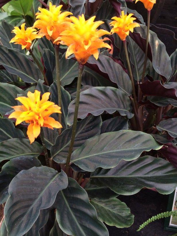 Eternal Flame Calathea Crocata Flowers Pinterest