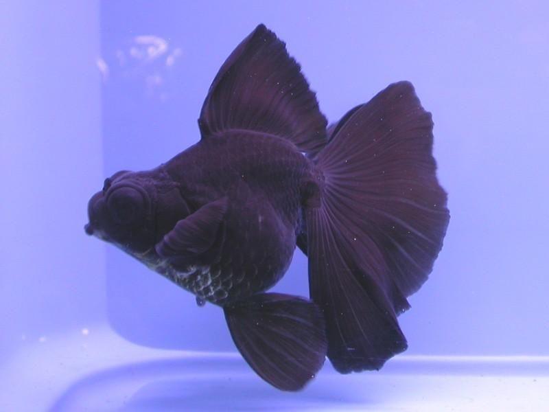 Nice black moore