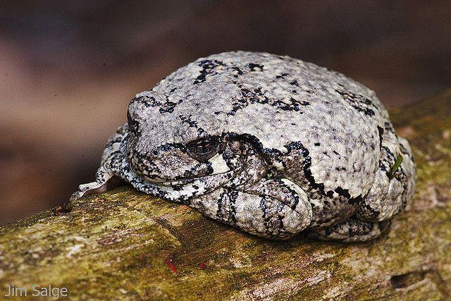 Gray Tree Frog   Gray tree frog, Tree frogs, Toad