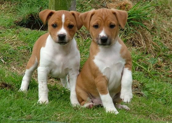 Plummer Terrier Purebred Dogs Terrier Puppies Dog Breeds