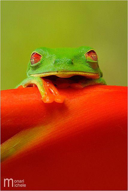 ˚Agalychnis callidryas - Costa Rica