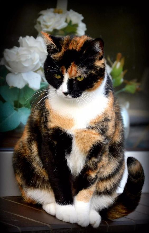 King Collin S Cat Palace In 2020 Cute Cats Calico Cat Beautiful Cats