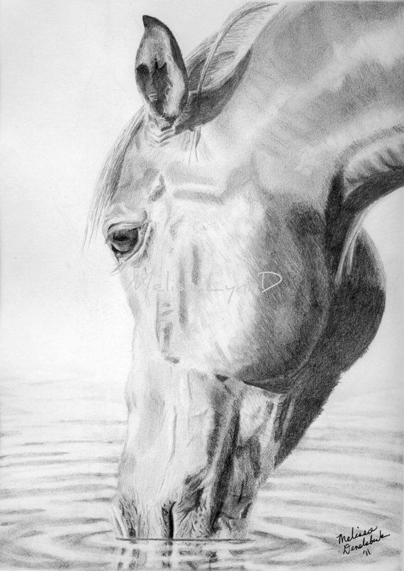 Equine pencil drawing print of horse drinking and reflection in water by melissalynnd