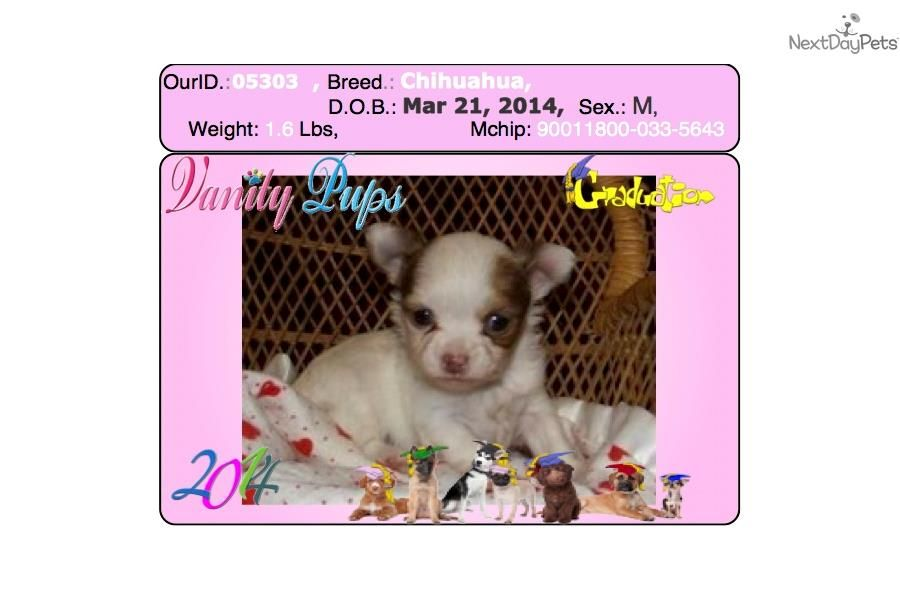 I am a cute Chihuahua puppy, looking for a home  #gorgeous #Chihuahua #puppiesforsale @vanitypups 718-224-3643 more #cute #puppies for #sale VanityPups.com we have #tcup #toy #mini #puppiesforsale in #Bayside #queens #ny #summer #sale
