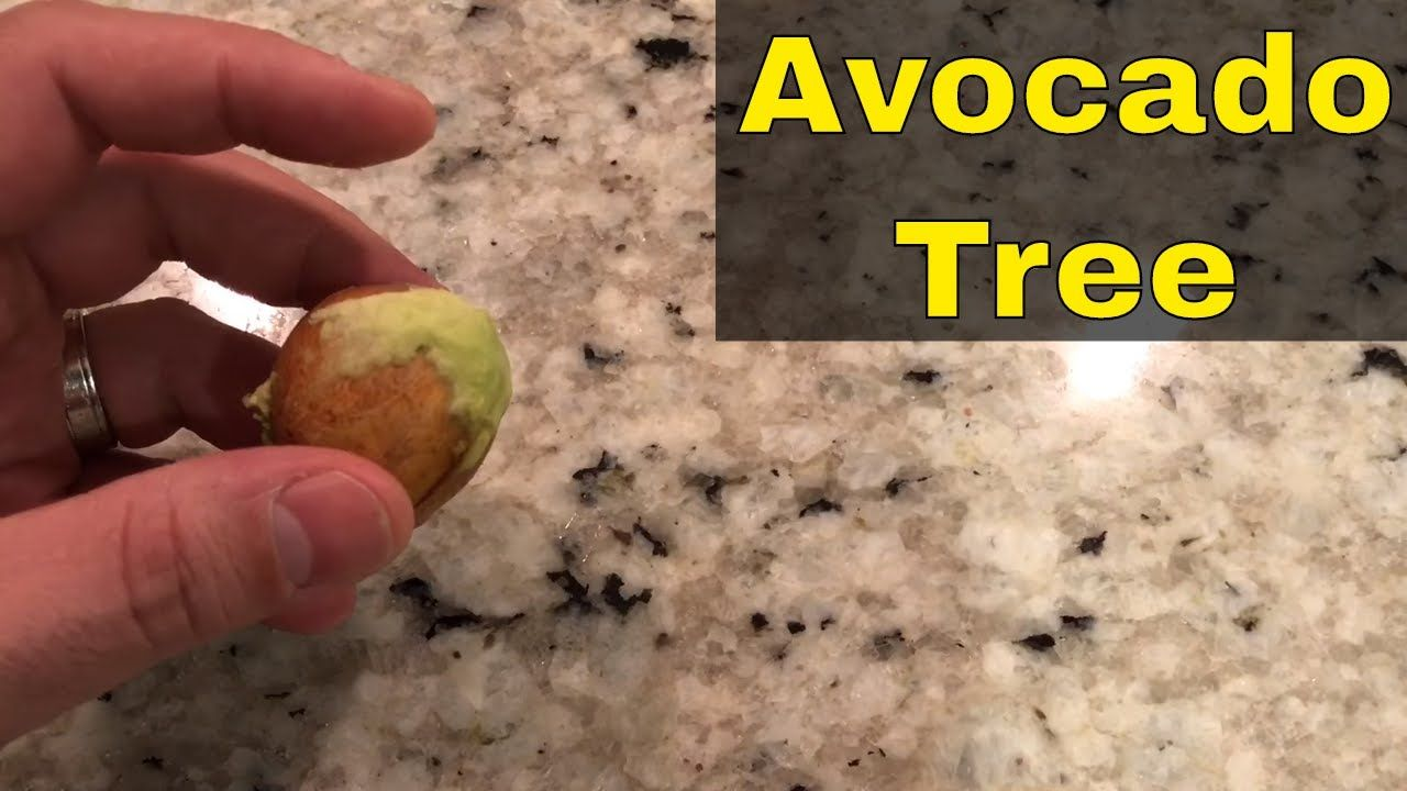 How to grow an avocado tree from a seedtutorial youtube
