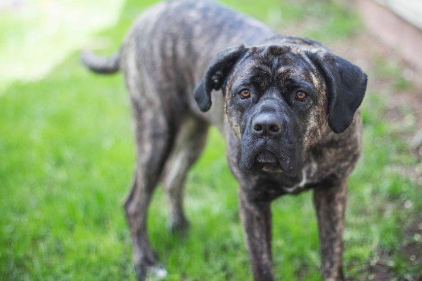 Presa canario puppies for sale in va
