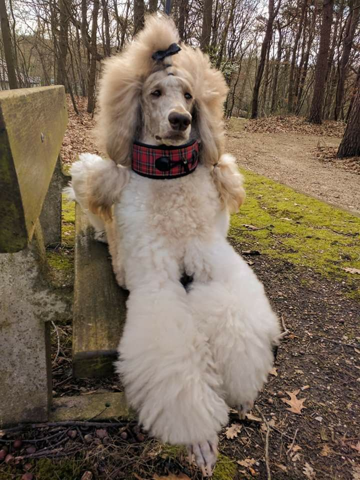 Chaisey Poodle Psychiatric Service Dog Beautiful Dogs