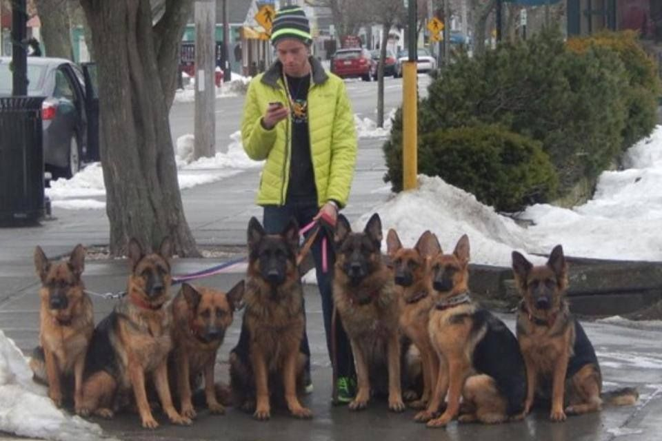 Please Stop Sharing That Guy Walking Shepherds Off Leash Dog