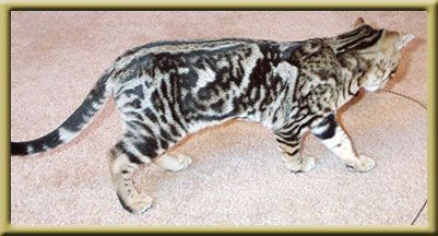silver marble, bengal