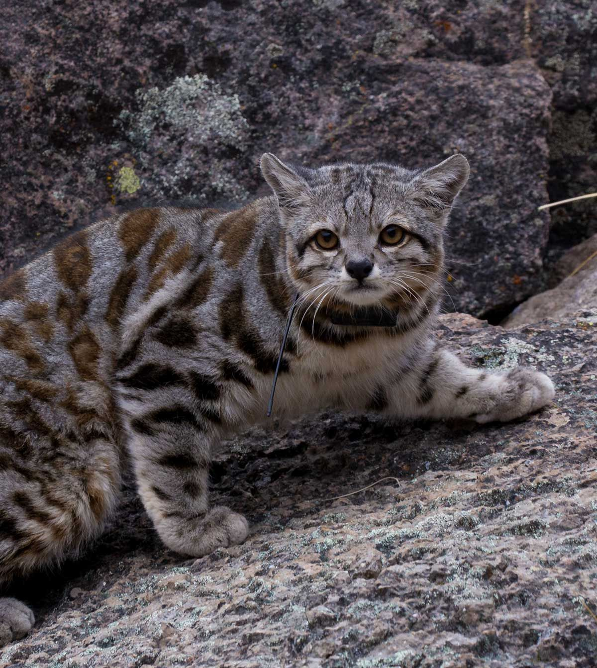Field Notes Finding Jacobo; an Andean cat captivates