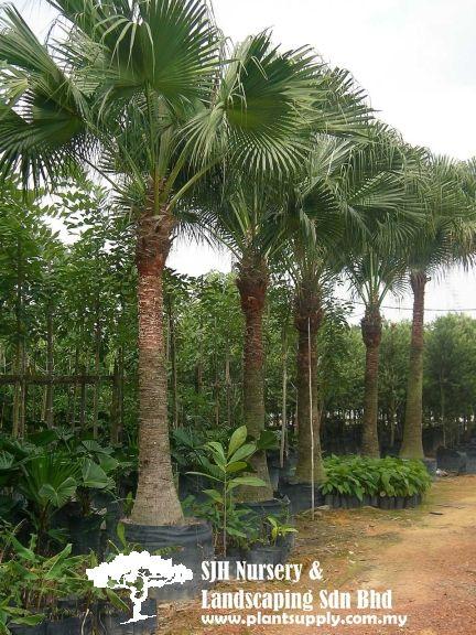Palms And Cycads Florida Plants Chinese Fan Palm Palm