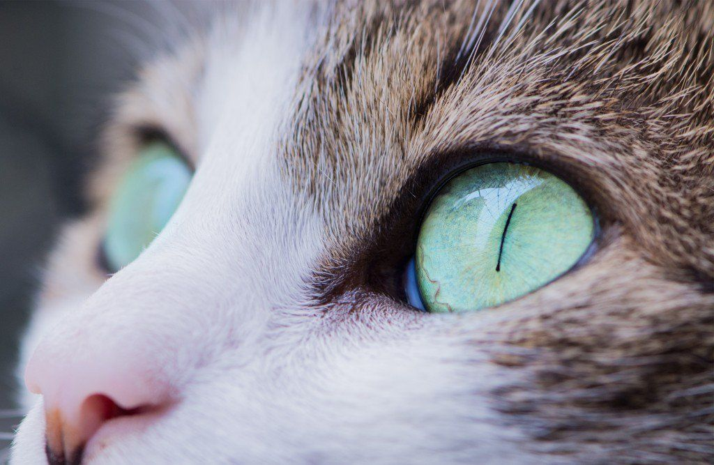 Cat Care 101 Keeping Your Cat Healthy Ideas Cat eye