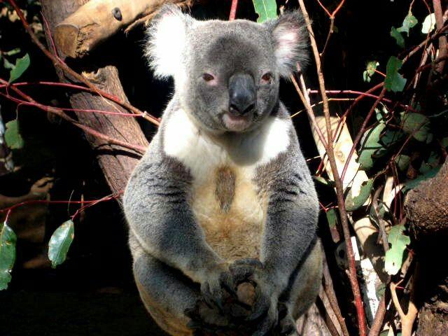 Koala at the Lone Pine Koala Sanctuary in Queensland, Australia