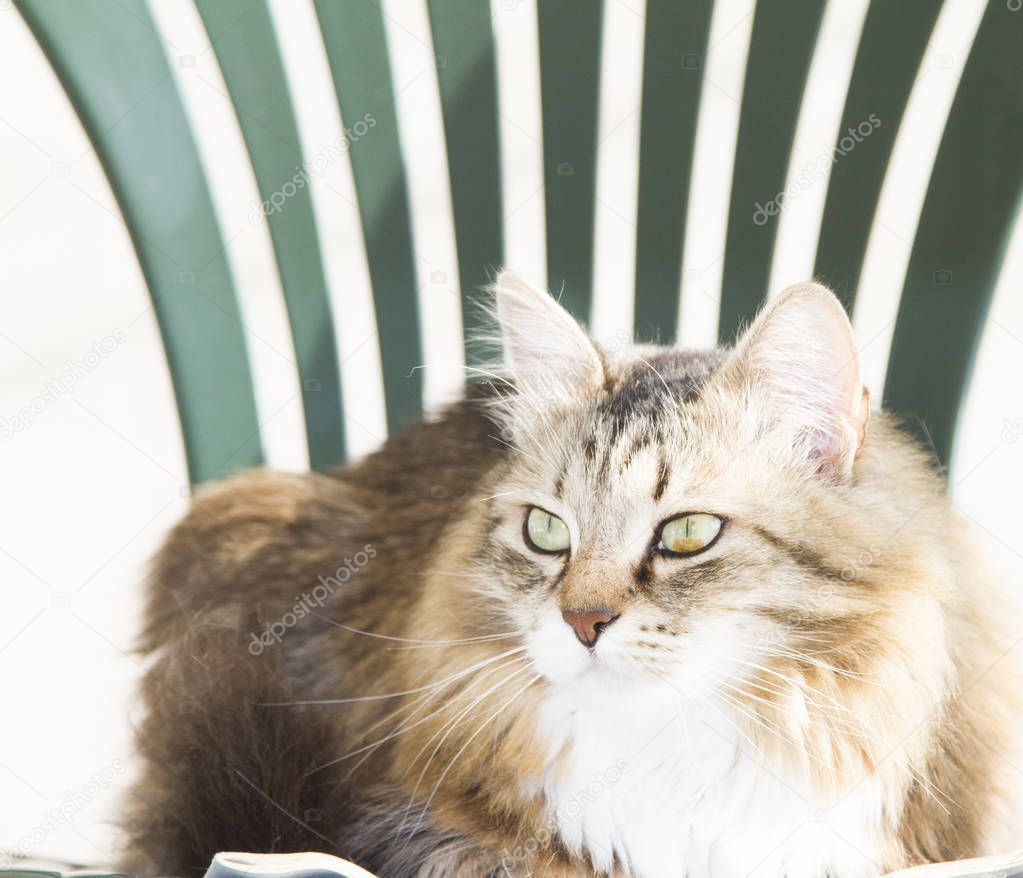 Female brown white cat of siberian breed on a chair in the