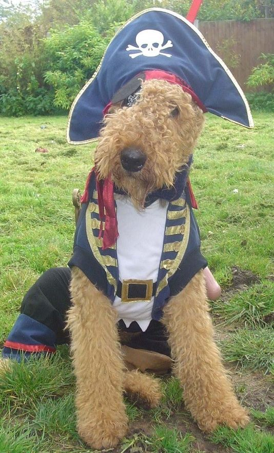 Sorry, but my airdale would kill me if I dress him like this. It's cute however.