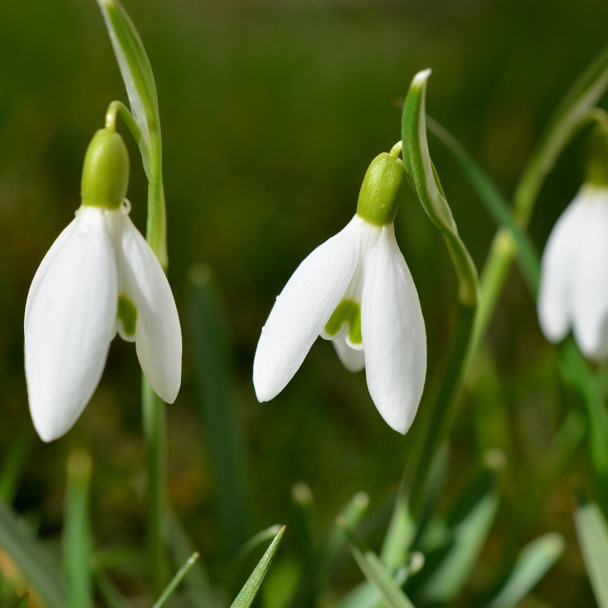 snowdrops flowers spring tap to see more dream of spring flowery