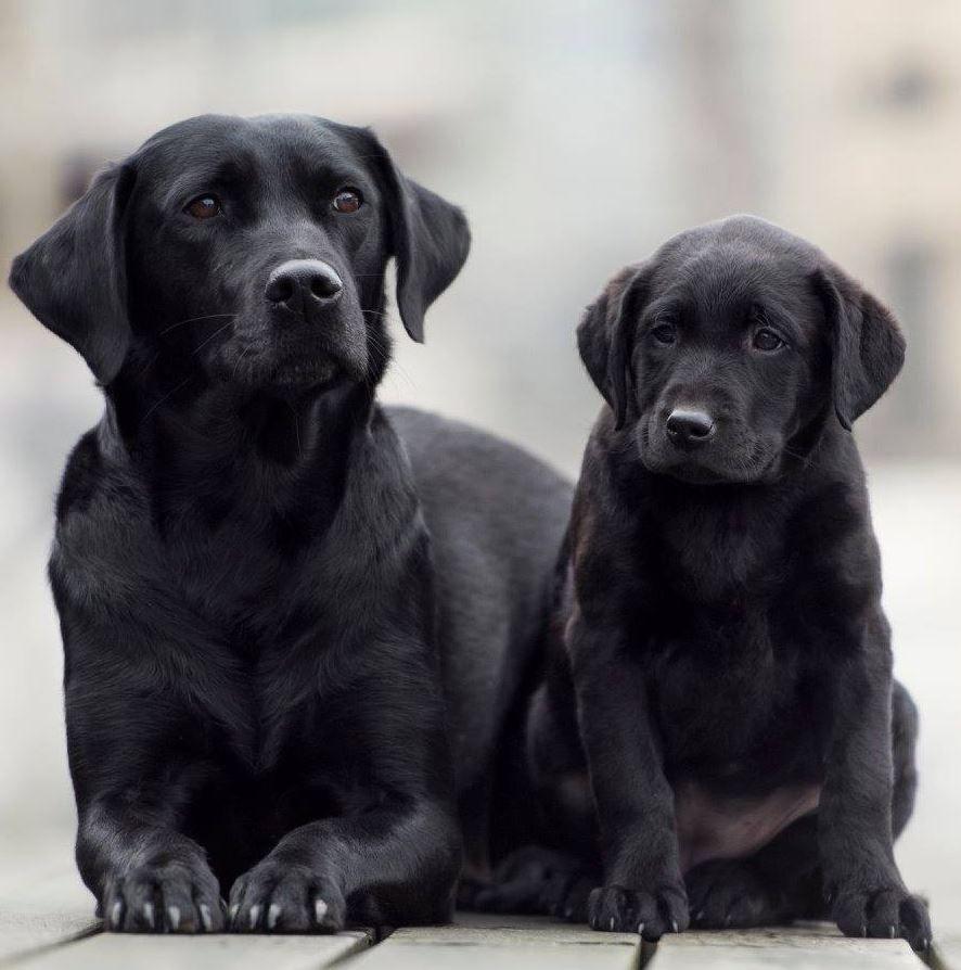 Heike Willers Photography Black Labrador Retriever Puppy Dog Labrador Retriever