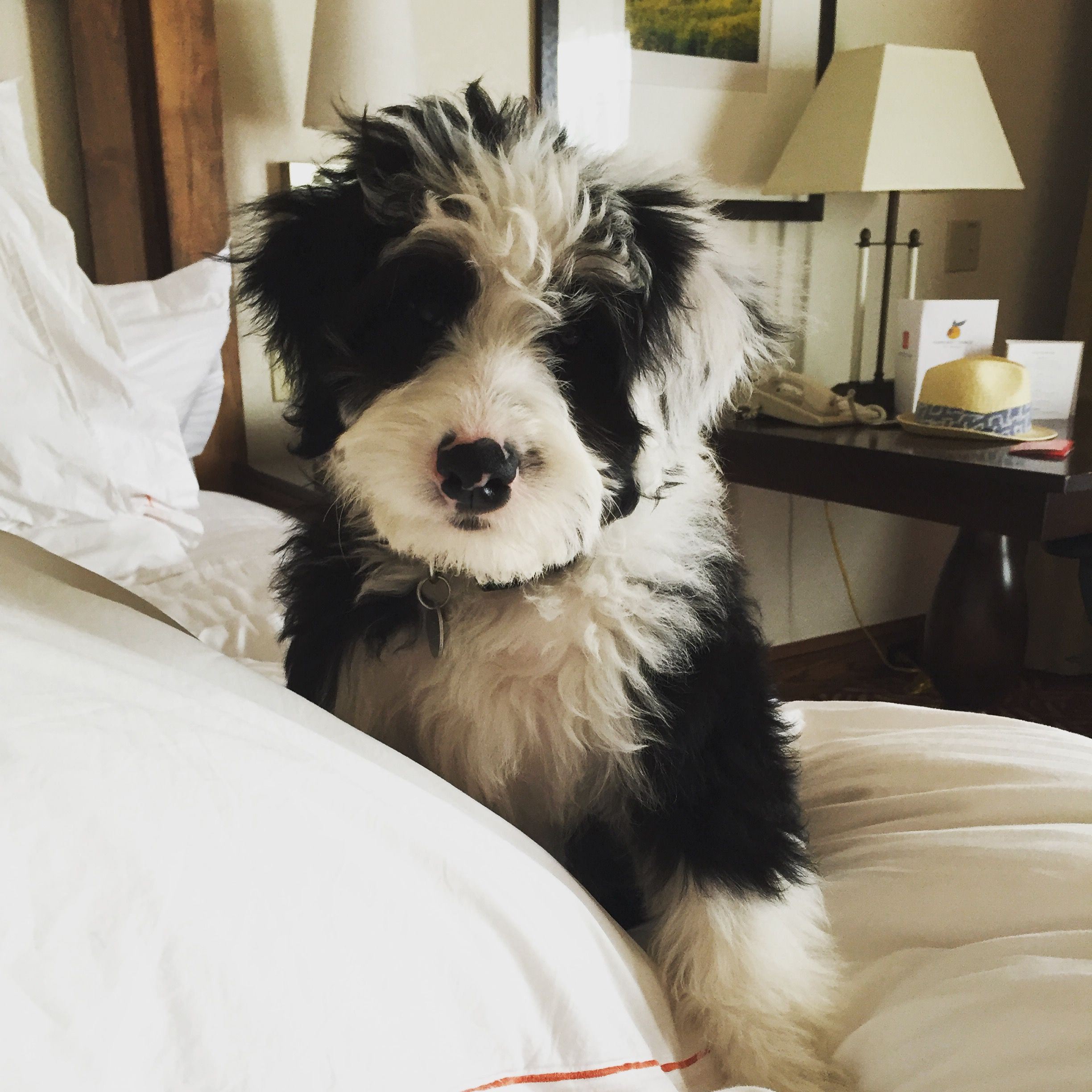 12 Week Mini Sheepadoodle Puppy In Napa Watch Him Grow