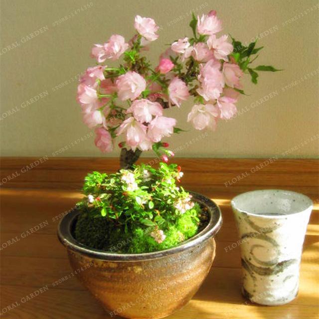 Bonsai Tree Japanese Sakura Seeds Rare Japanese Cherry Blossoms Flowers Seeds In Bonsai Pink Prunus Serrulata 1 Bonsai Seeds Bonsai Diy Cherry Blossom Flowers