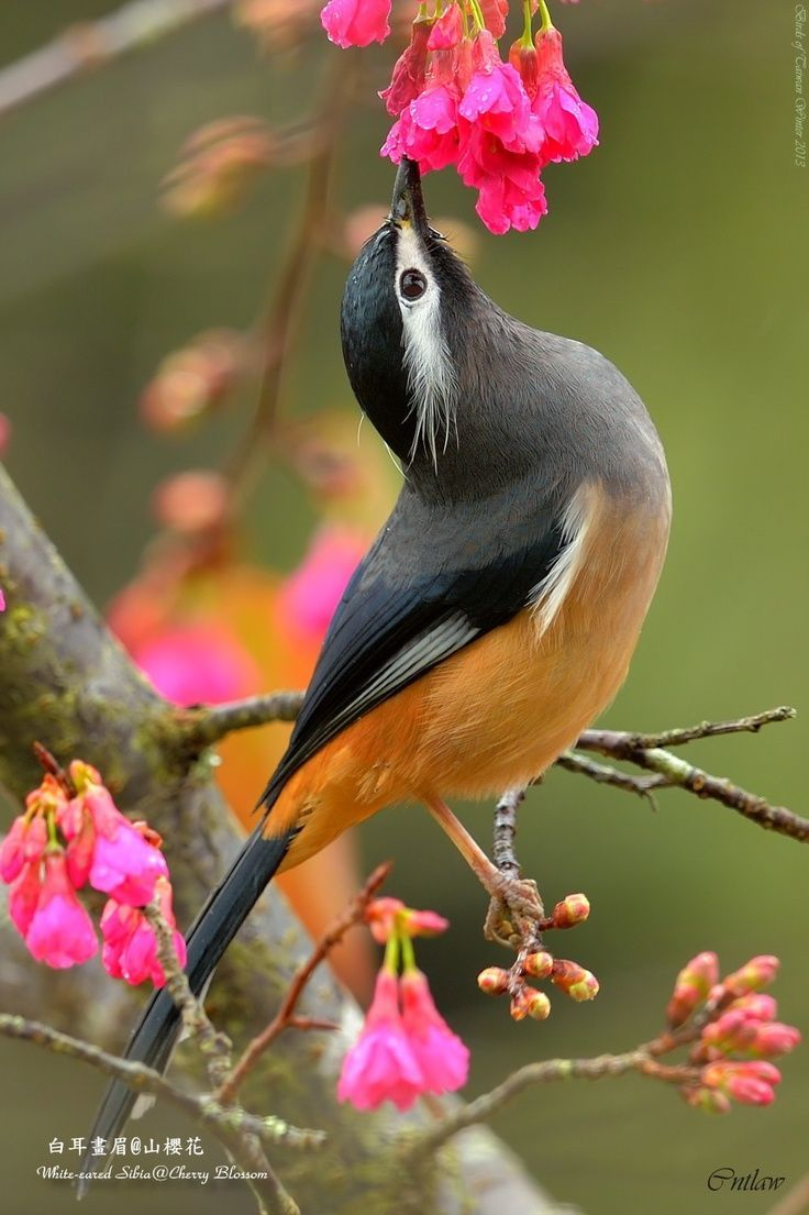 Sibia de Formosa (Heterophasia auricularis). Es un avede la familia…