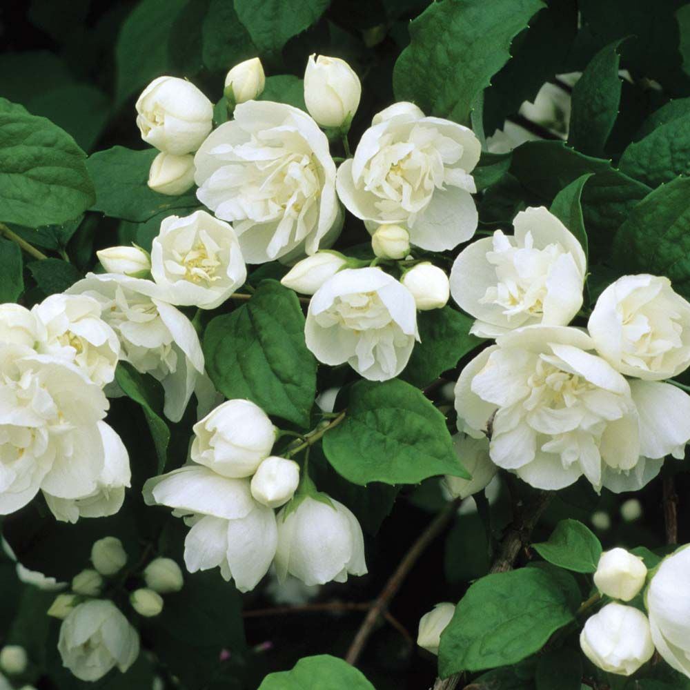 Philadelphus 39 virginal 39 mock orange a hardy shrub for White flowering bush