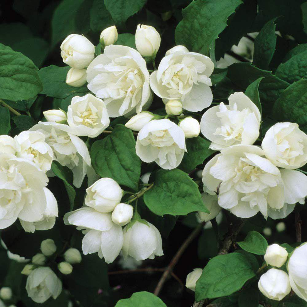 Philadelphus \'Virginal\' Mock Orange - a hardy shrub, fragrant white ...
